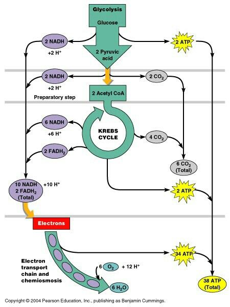 Nutrition And Krebs Cycle Diagram