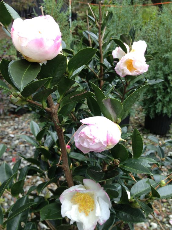 Camellia Sasanqua Northern Lights