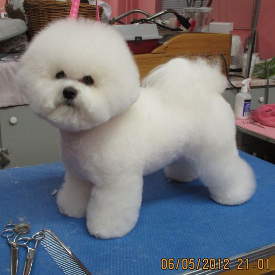 Lamb Cut Bichon Frise Haircut Styles