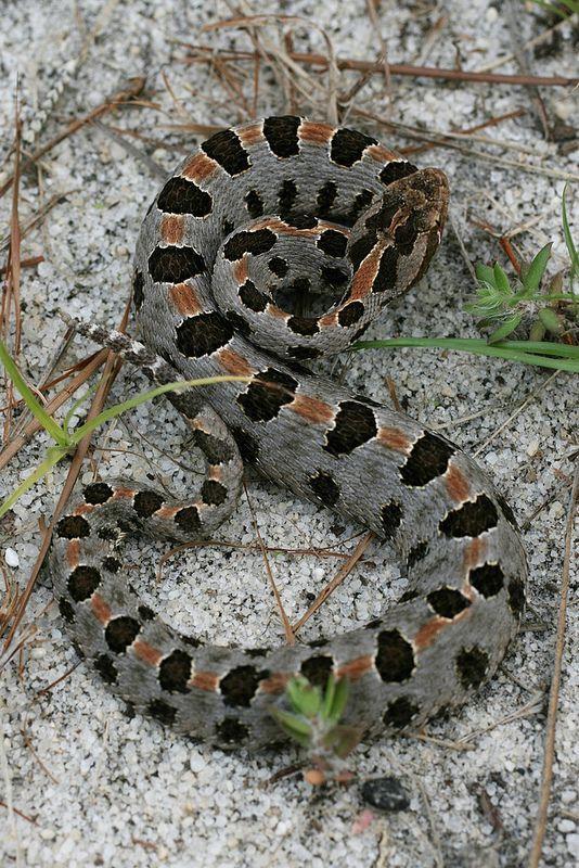 Snake Huge Cottonmouth Oklahoma