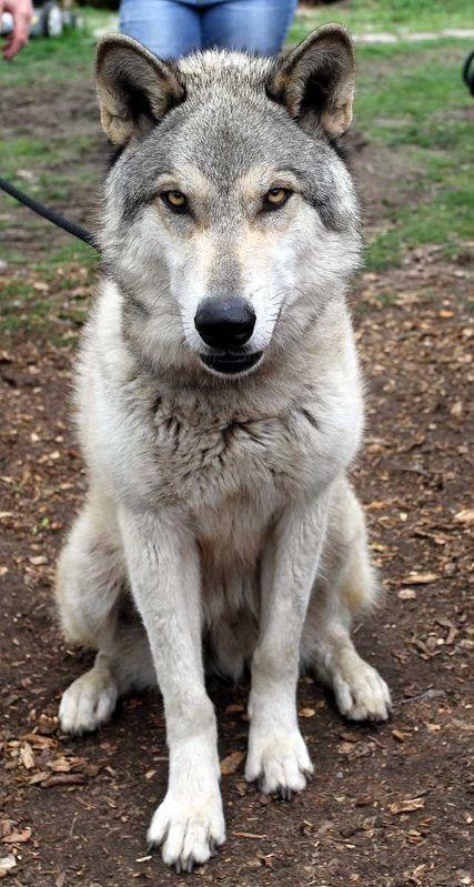 Wolf Hybrid Puppies Adoption