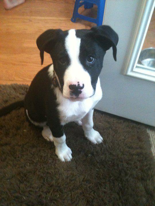 Blue Merle Collies Adoption