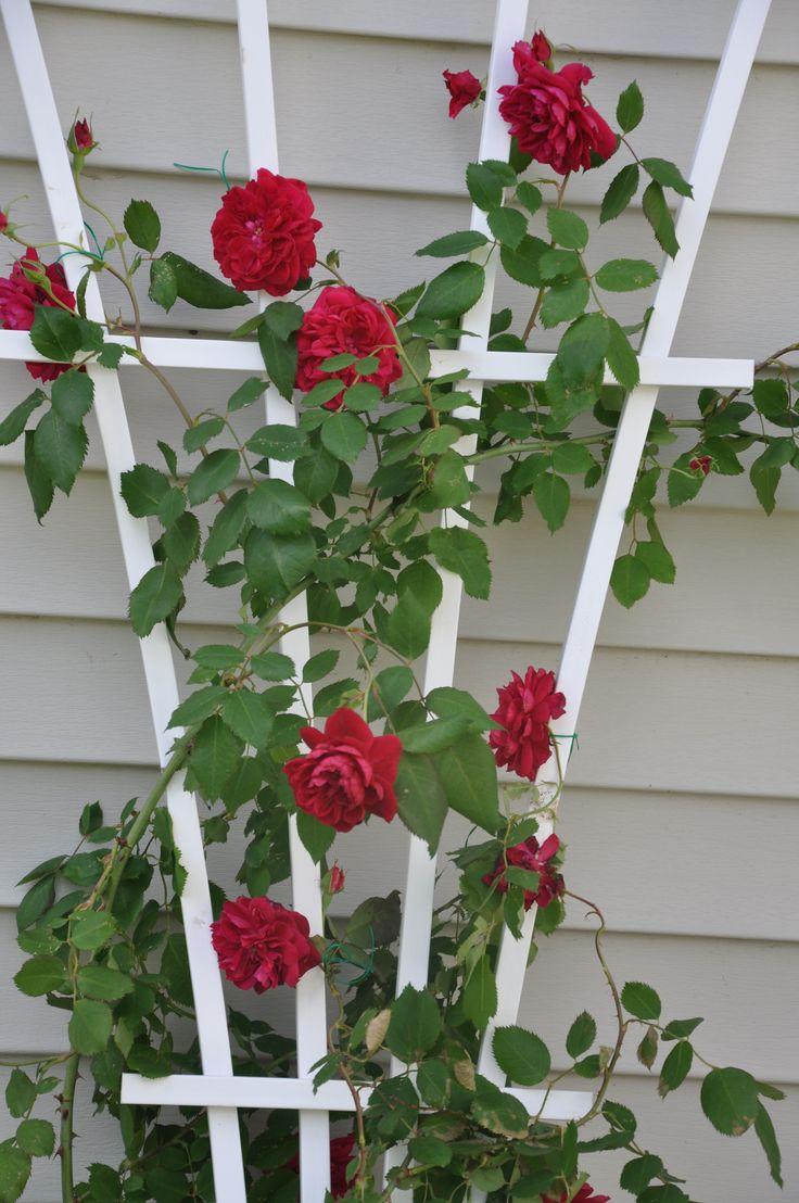 Best Climbing Roses Zone 8