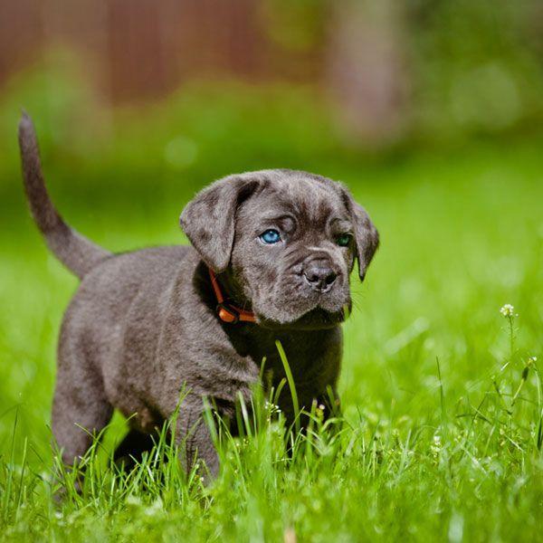 Cane Corso Puppy Birthday