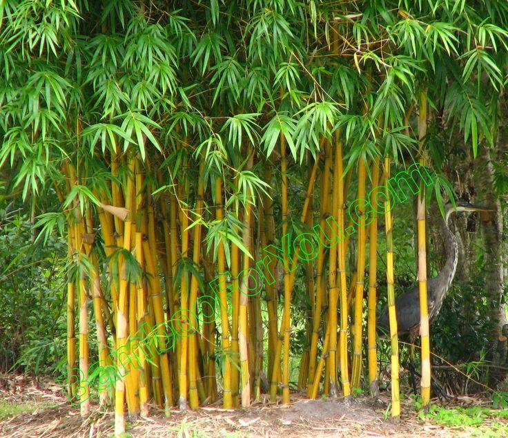 Non Invasive Bamboo