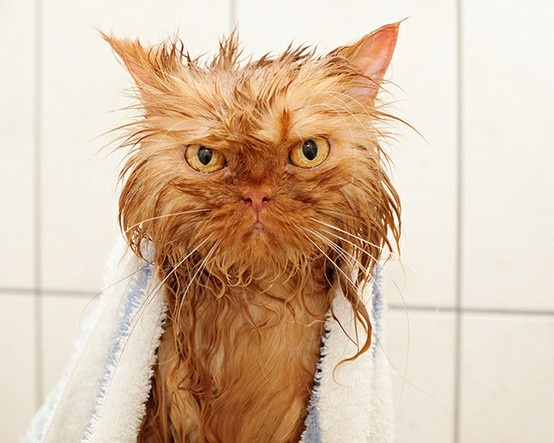 Angry wet cat. | lol | Pinterest | Cats
