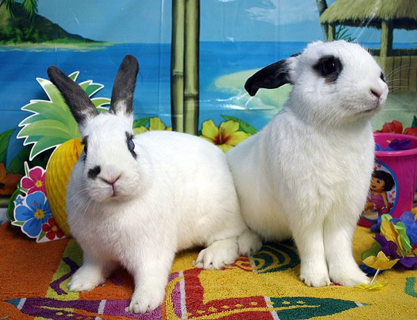 Easy Rabbits Travel Are California Teacup Rescue