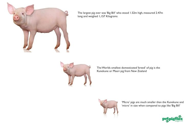 Big Get Grown Pigs How Fully Do Micro When