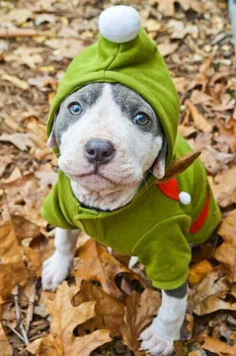 Cutest Pit Bull Dog World