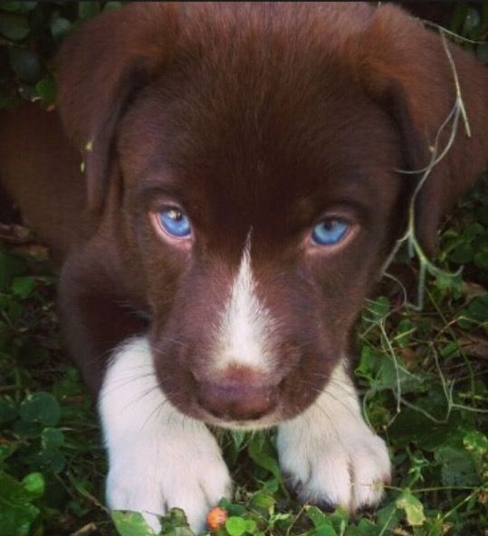 Lab Husky Black Alaskan Puppies