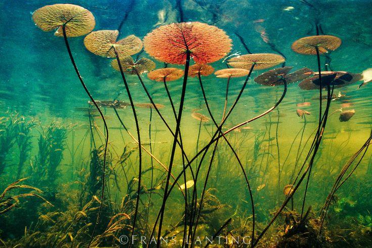 Aquatic Plants Water Lily