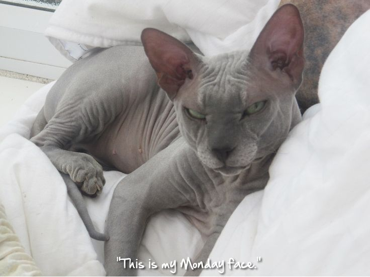 667 best images about CHINESE CRESTED AND SPHYNX on ...