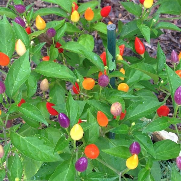 Are Ornamental Peppers Annuals