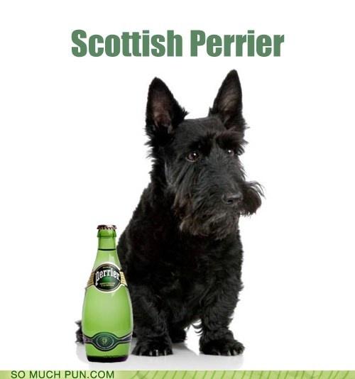 Scotty Terrier Dog Rescue