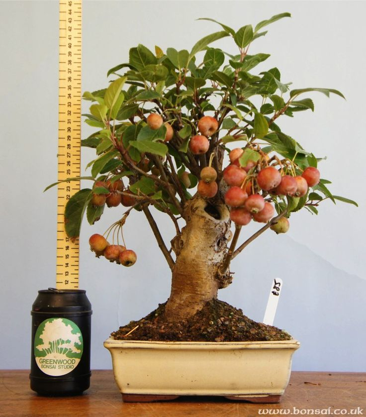 Mini Fruit Bonsai Apple