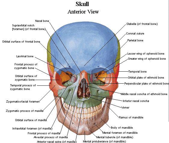 Real brain anatomy diagram ccuart Gallery