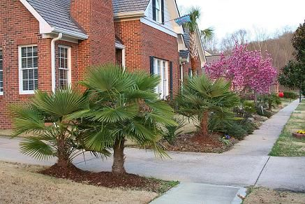 Windmill Palms Cold Hearty Chattanooga Tennessee