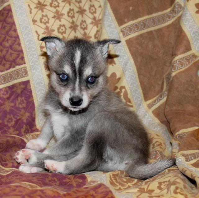 Teacup Husky Breeder Texa