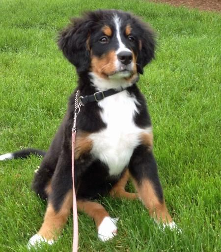 30 Lbs Or Bernese Mountain Dog Australian Shepherd