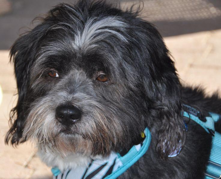Havanese Rescue Dogs Florida