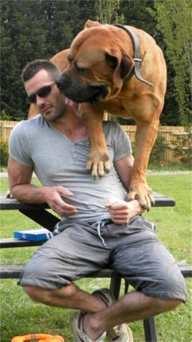 Boerboel African Size South