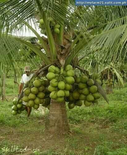 Philippine Fruits Tropical Trees