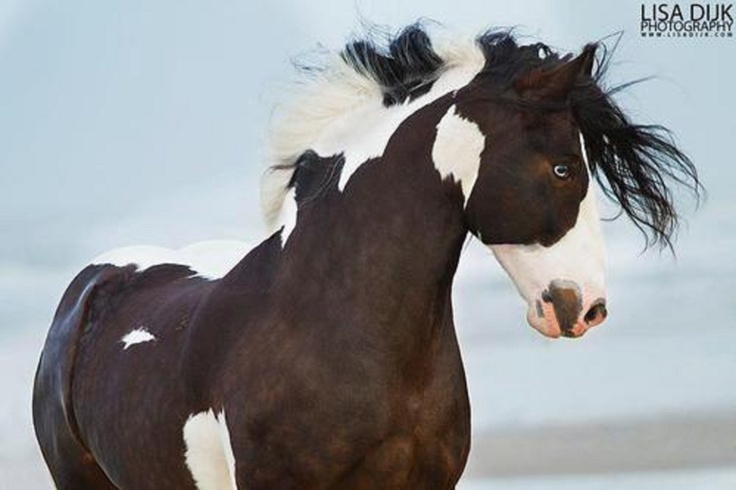 American Paint Horse Baby