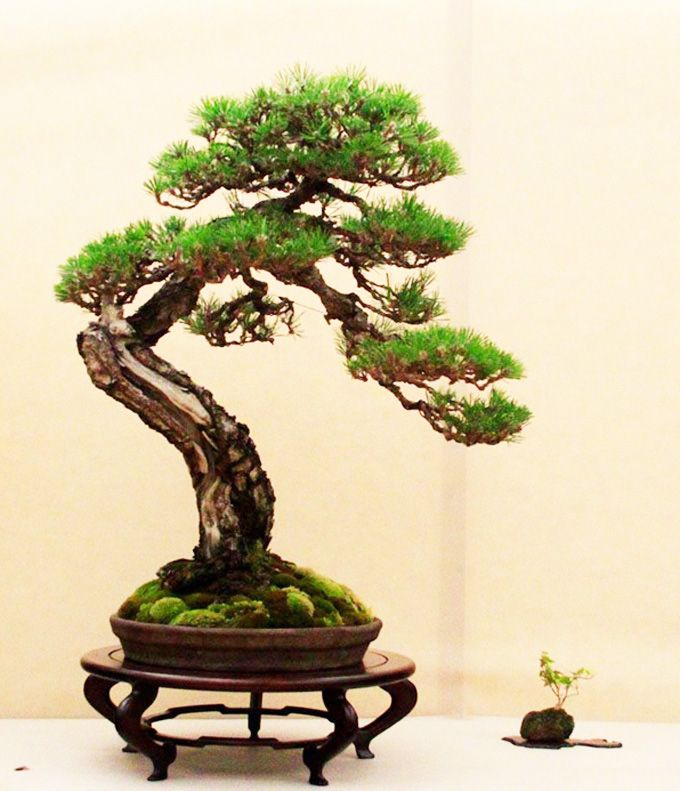 Floating Bonsai Tree Where Buy