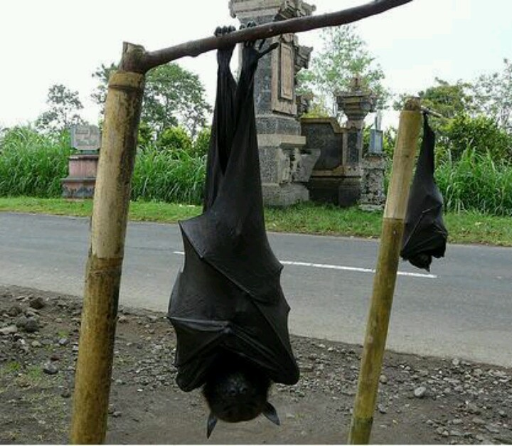Largest Bat Philippines