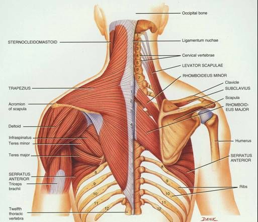 Labrum Shoulder Muscle Posterior View