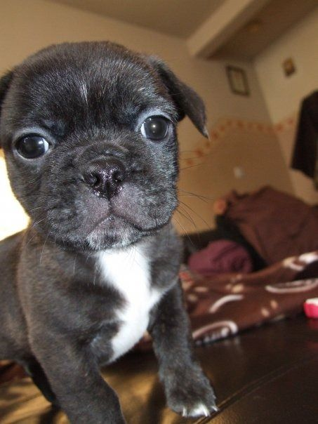 12 Best Images About Bullshit Puppy Breed On Pinterest