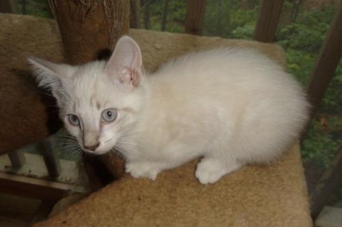 Siamese Cat Russian Mix Blue