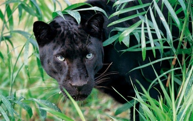 Panthers Cat Eyes Blue
