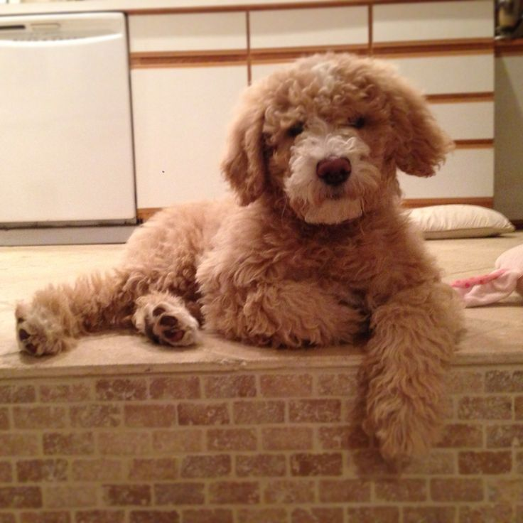 Goldendoodle Haircuts For People