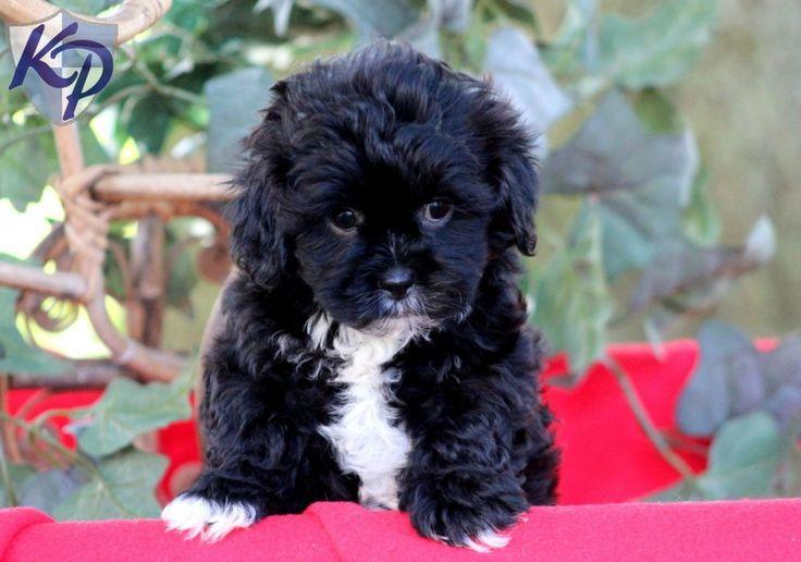 Brown Teacup Poodle Baby