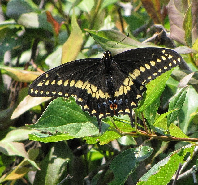 17 Best images about Butterflies - Eastern Black ...