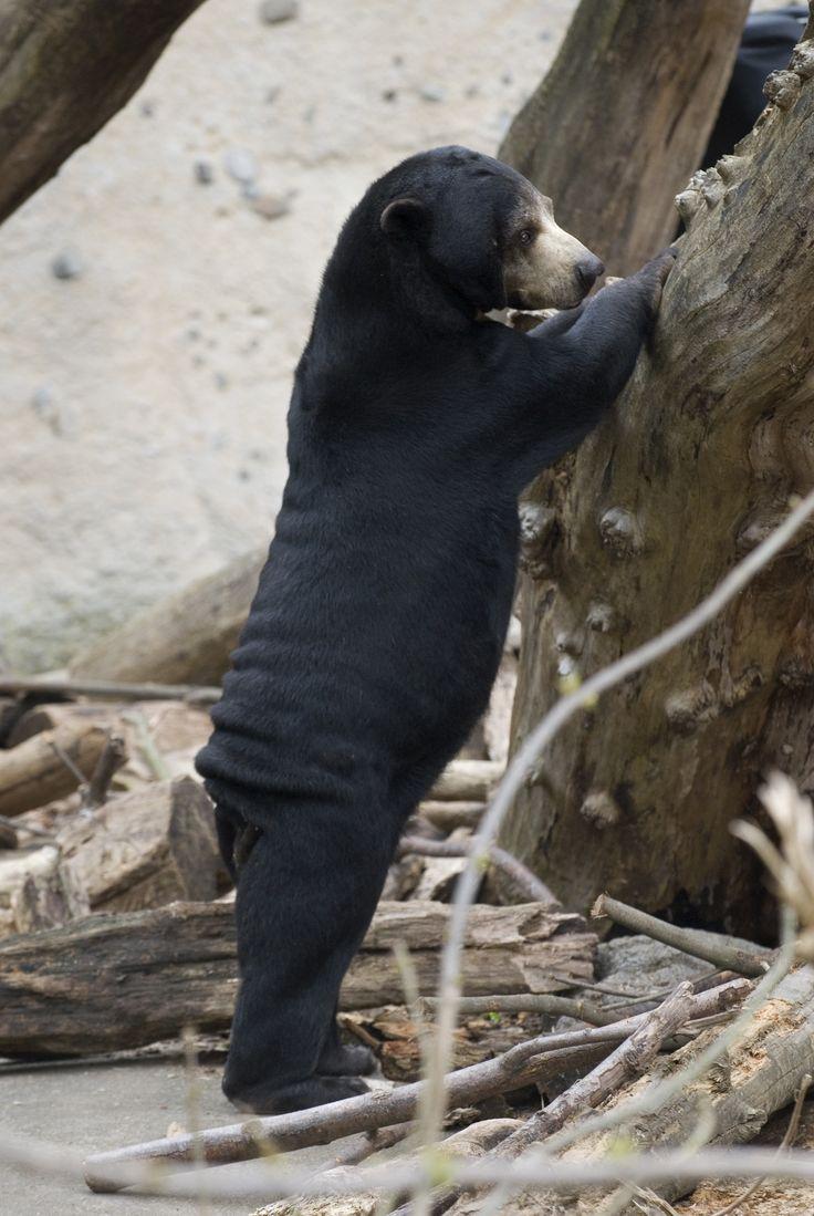 Maine Black Bears Mascot