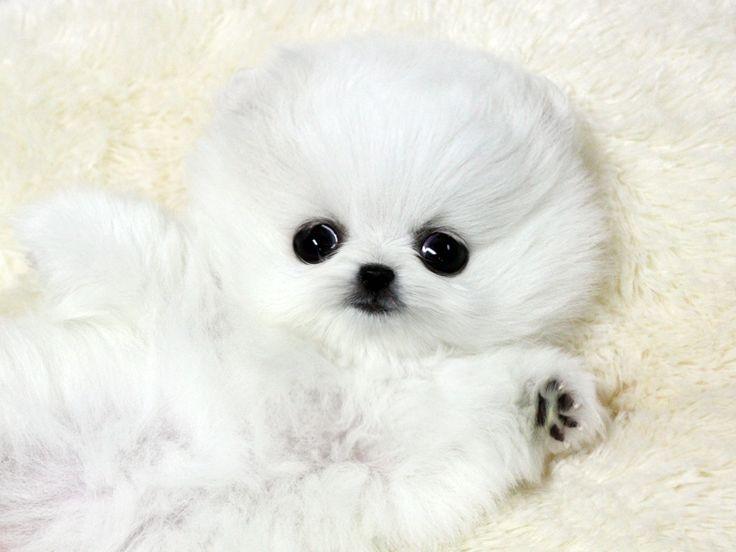 Teacup Pugs Baby Sale