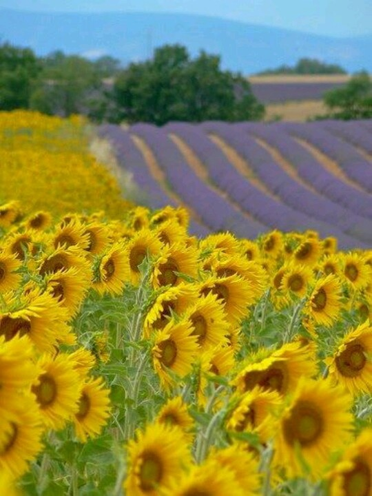 Hydrangeas Best Sun