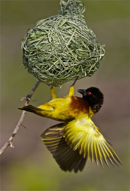 Golden Backed Weaver Birds Bird 180 S Eye El Mundo A