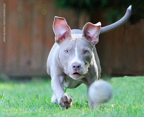 Big Red Nose Blue Pitbull