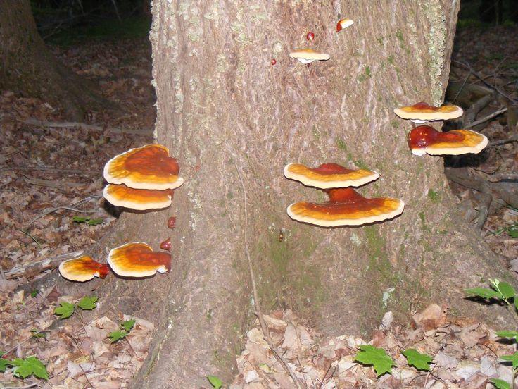 Edible Mushroom Identification Reishi Mushrooms Aka Ling
