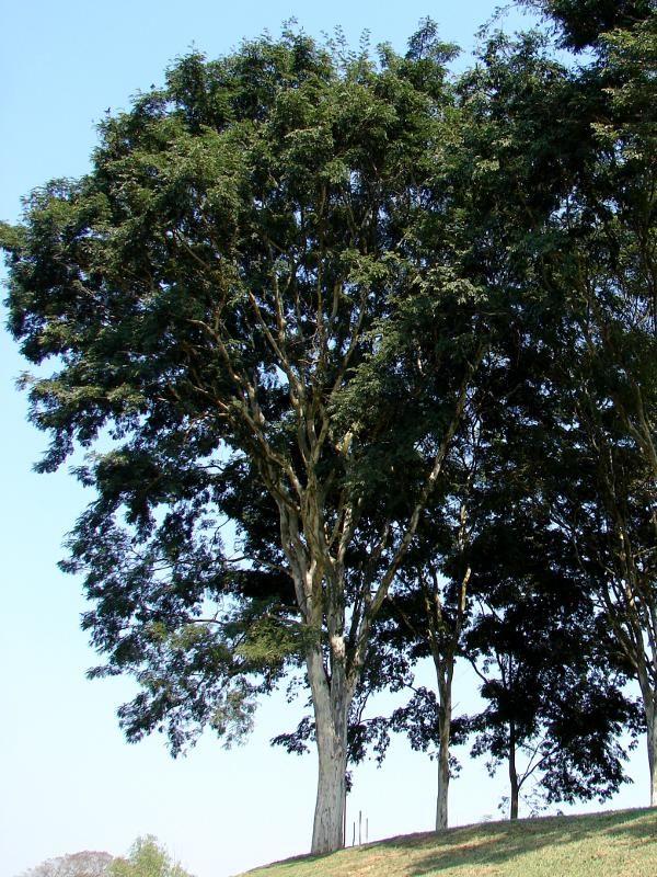 Places Buy Bonsai Trees