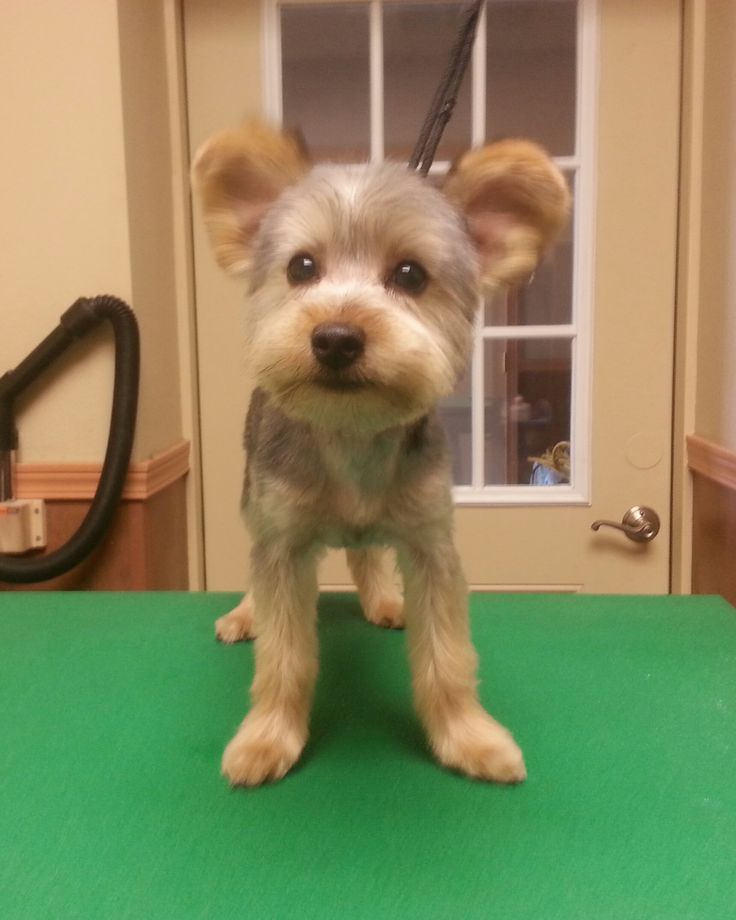 Example Of Yorkies Haircuts