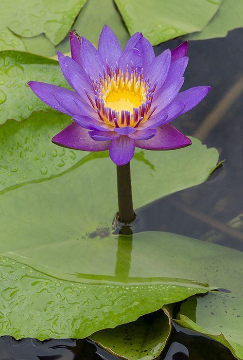 Pond Plants Lily Pads