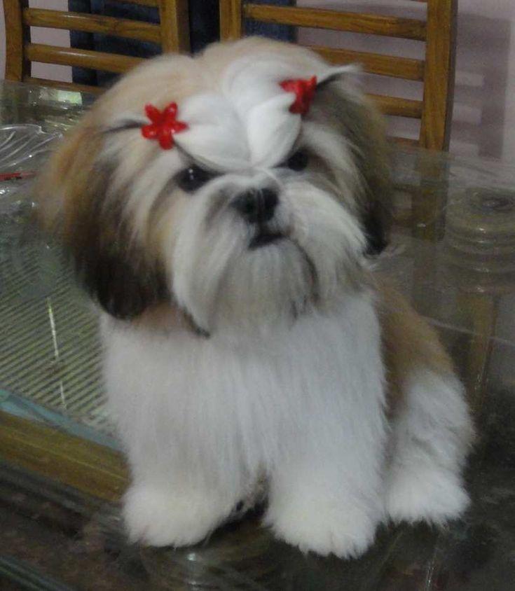 Hair Cuts Lhasa Apso