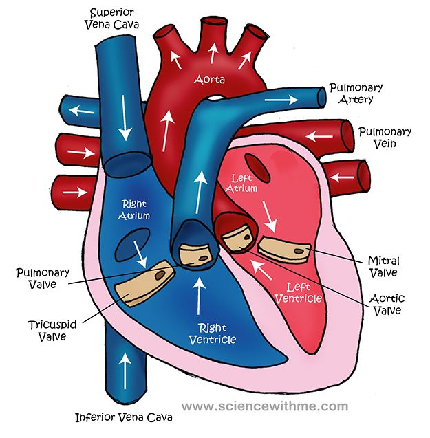 25+ best ideas about Circulatory System on Pinterest ...