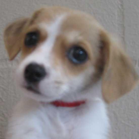 Beagle Free Adoption Puppies