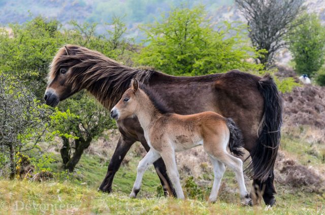 17 Best Images About Exmoor Pony On Pinterest To Be