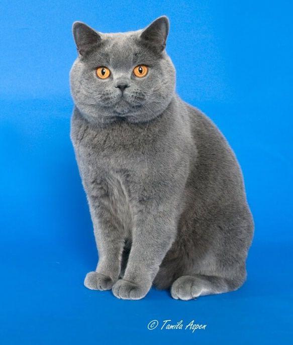 Exotic Shorthair Persian Grey